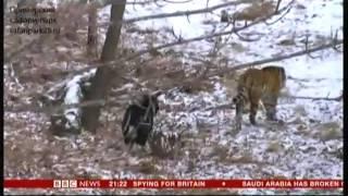 Tiger & Goat (Amur and Timur) - BBC World News - 3rd January 2016