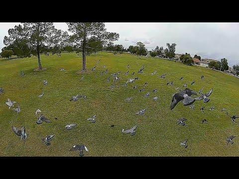 Geprc Rocket Plus DJI Air Unit - FPV 120fps Local Park Pestering Pigeons