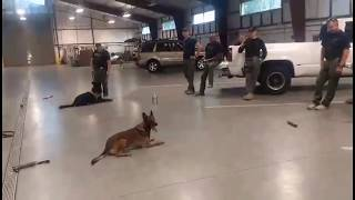 Police Dog Training: obedience with distractions