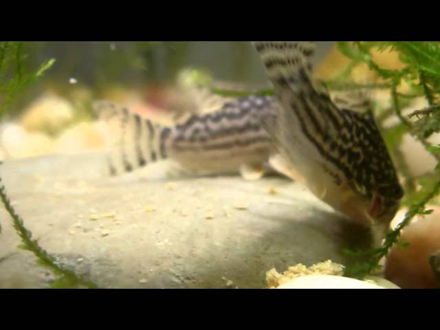 Super Cute! A pair of Corydoras agassizii (Spotted Cory) Feeding