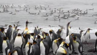 KING PENGUIN COLONY IN THE OCEAN LONG SHOT OF KING PENGUINS COLONY IN THE WATER OF ANTARCTICA 4YJR4E