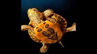 Стратегия форекс 2017 «Золотая черепаха». Точные сигналы, маленькая просадка.