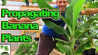 How To Propagate Banana Plants In Cold Climates
