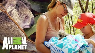 El Dramático Intento De Salvar A Un Koala Y Su Bebé | The Dodo: En Busca De Héroes | Animal Planet