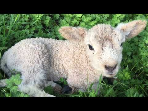 Cute Baby Lamb Baaing - LAMB Baaing -Baby Lamb Made Sounds (All Rights Reserved ))