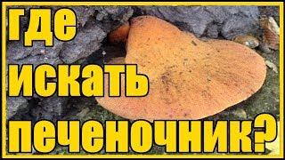 """Мой любимый печеночник """"Тёщин язык"""" /  Осенние грибы собираем тещин язык"""