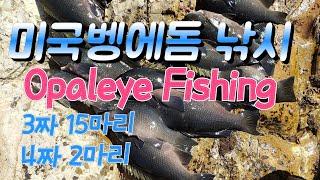 Opaleye rock fishing Store 80