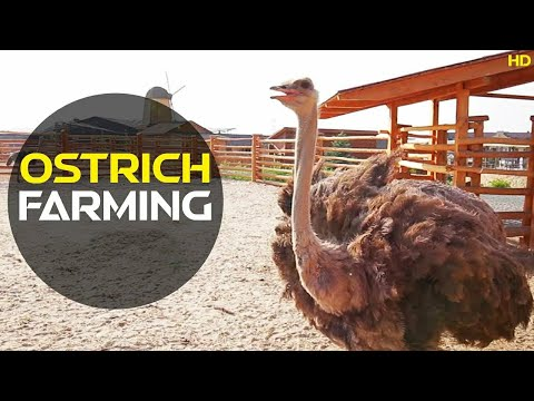, title : 'How To Farm Ostrich | Ostrich Farming | Discover Agriculture