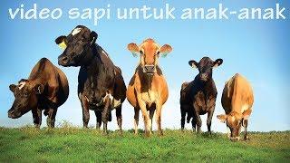 Suara Hewan Sapi | Video Sapi Untuk Anak Anak | Cow Videos For Kids