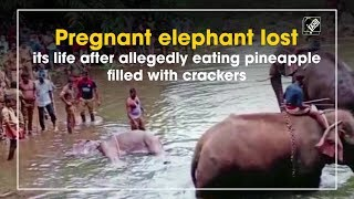 Pregnant elephant lost its life allegedly after eating pineapple filled with crackers