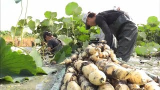 Beautiful Japan Lotus Root Field - Japan Lotus Root Farm and Harvest