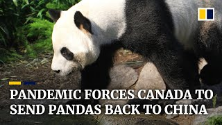 Coronavirus: Bamboo Shortage Forces Canada Zoo To Send Two Giant Pandas Back To China