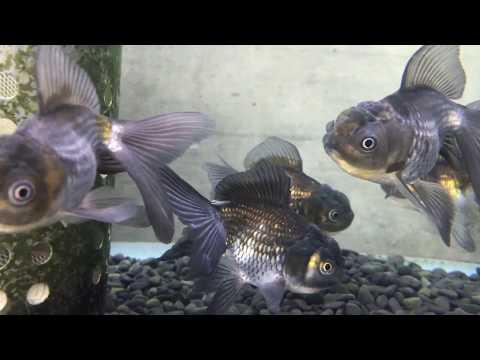 弥富の金魚 青文魚
