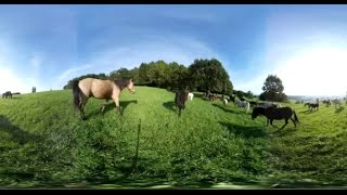Unsere Pferdeherde auf der Weide im 360° Video