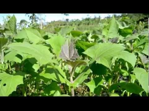 Video Budidaya Tanaman Yakon (smallanthus sonchifolius) / Daun Insulin