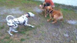 Doggy playtime: Niko, Duke & Ava having some much deserved playtime after an intense training se