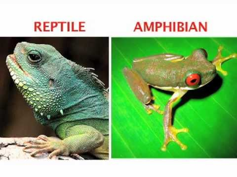 What's the difference between an amphibian and a reptile? Find out in this World Book Explains video