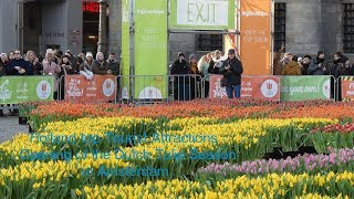 Holland top Tourist Attractions - Opening of the Dutch Tulip Season in Amsterdam.
