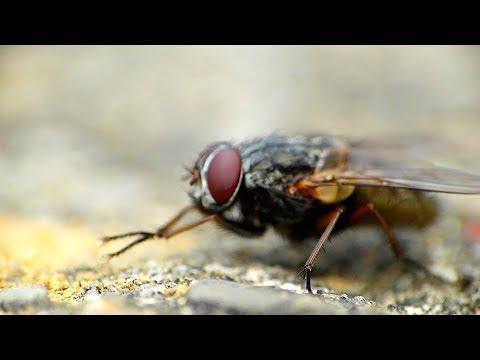 ¿Cómo evitar los peligros de la mosca sarcophaga?