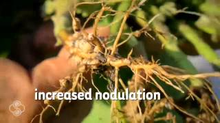 Increase Nodulation And Enhance Root Systems With Bio Forge®