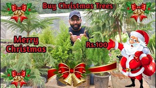 Buy Real Christmas Trees - Araucaria, Golden Green Cypress | Indoor Plant