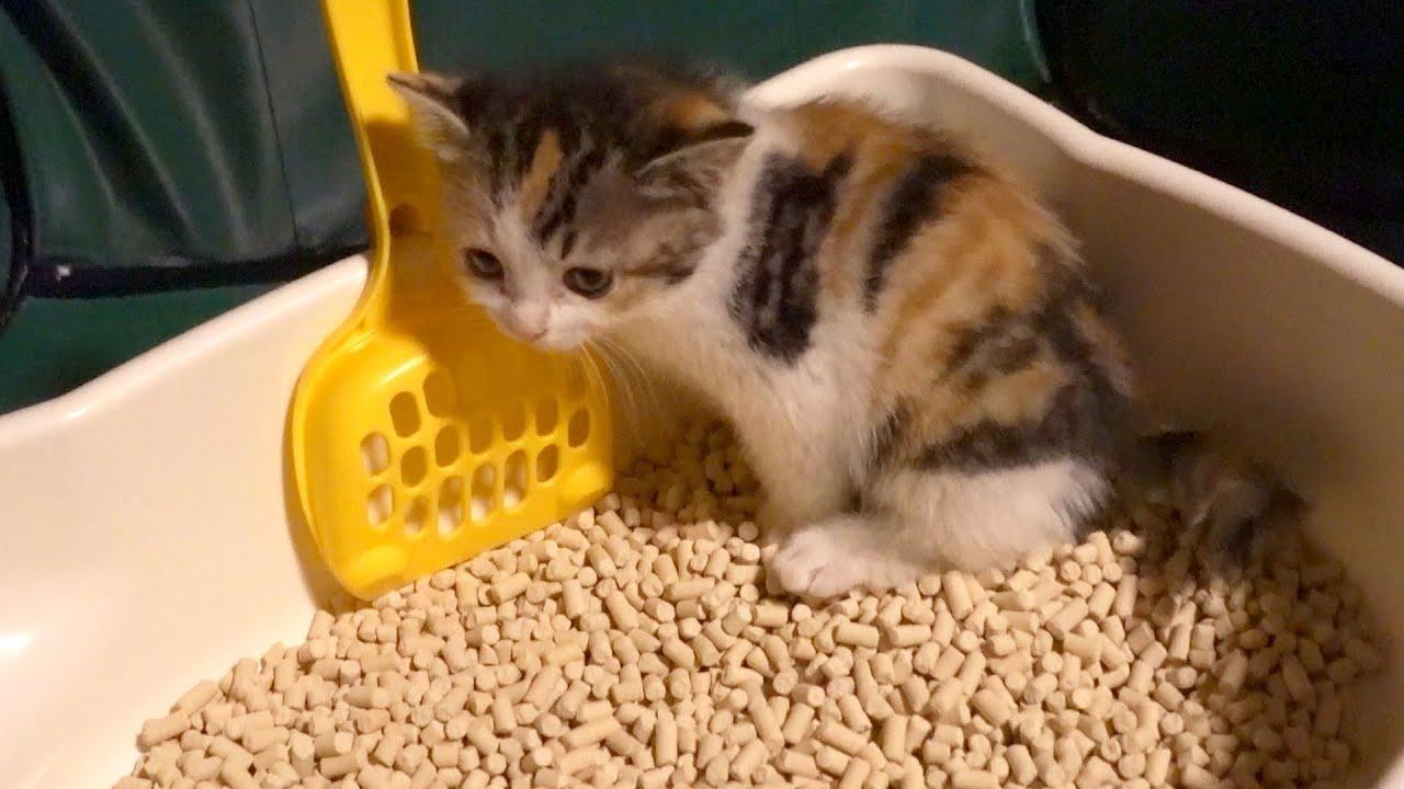 初めてのトイレで鳴き叫んでしまう子猫