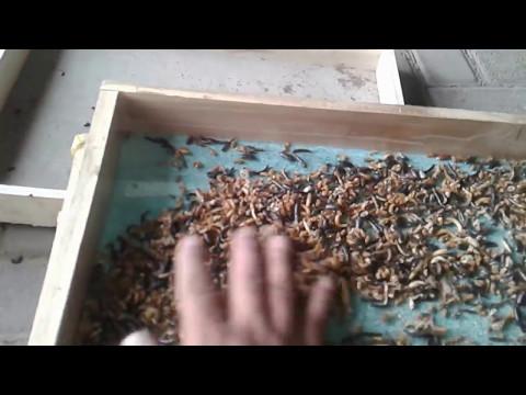 Video Belajar budidaya ulat hongkong cara memisahkan indukan yang baru jadi