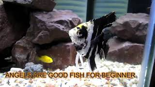 Look at this beautiful fish | angel fish | FLOWERHORN ONLY FLOWERHORN