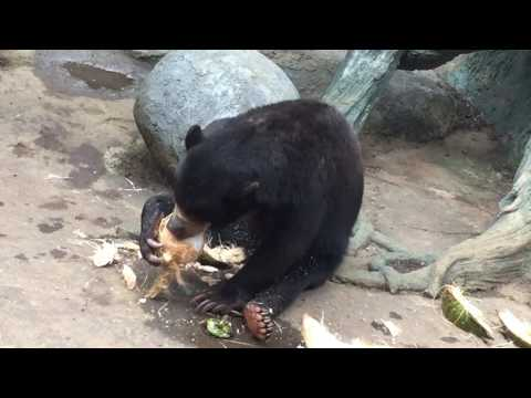 A bear ripping apart a coconut to eat