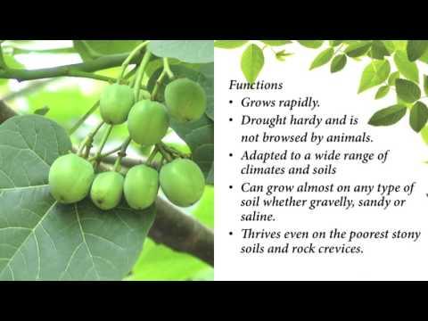 Video Jatropha Curcas (adavi amudham)