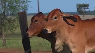 Lote Duplo Fêmeas  Brahman Agropecuária W2R