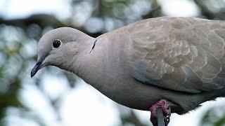 Bird Facts: The Eurasian Collared Dove