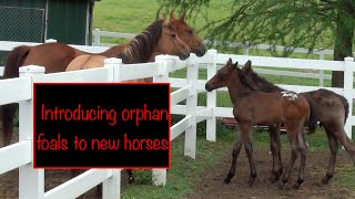 Introducing orphan foals to new horses