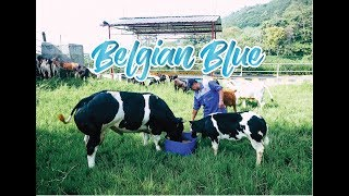 Download Video Belgian Blue - Sapi Super Indonesia MP3 3GP MP4