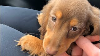 We Got A Puppy!!!! |Miniature Dachshund|