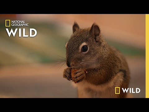 Welcoming a Squirrel to the AWCC   Alaska Animal Rescue
