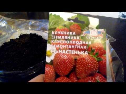 Земляника из семян / Всходы через 4 дня!!! Первый опыт