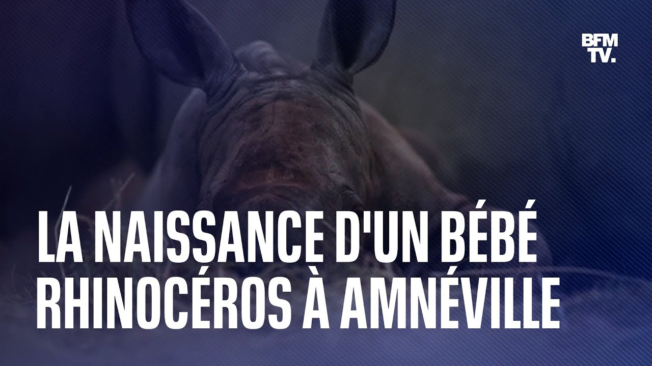 Les premières images de Mosl, le bébé rhinocéros qui vient de naître au zoo d'Amnéville