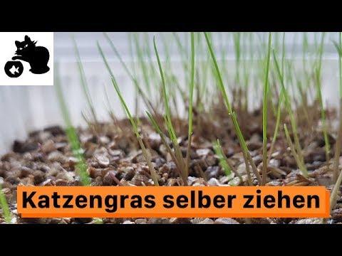 🔥Katzengras selber ziehen - Katzengras anpflanzen - Katzengras selber machen