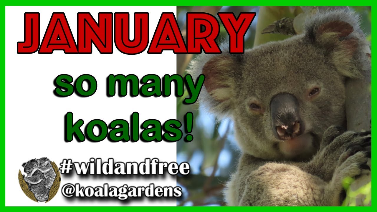 All the koalas of January