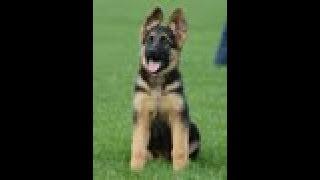 Puppy Training - Positive Method - 3 months old German Shepherd Dog / K9 Ambassador