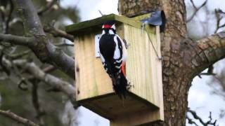 Great Spotted Woodpecker drumming on nestbox