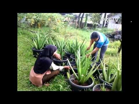 Video Tanpa tanah, suami istri di Depok sukses kembangkan Lidah Buaya dengan POT