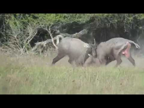Nilgai Fight (Part 2)