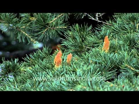 Cedrus deodara, the Himalayan Cedar or deodar tree