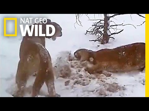 Watch How Pumas Fight, Keep the Peace, and Share a Meal | Nat Geo Wild
