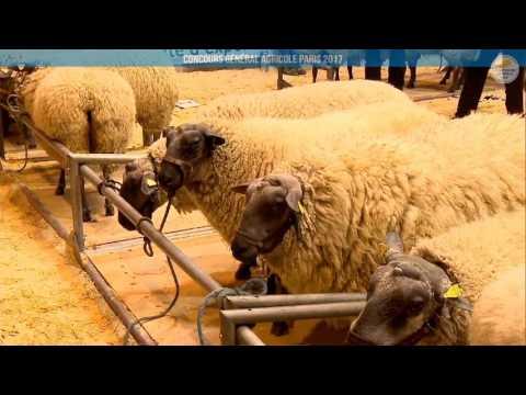 Voir la vidéo : Ring Ovins et Caprins du 27 février 2017, partie 1