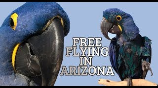 WE ARE FREE FLYING WITH 30 MACAWS