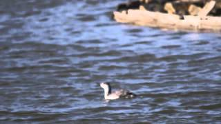 preview picture of video 'Red Throated Diver & Little Egret @ Farehaven Lake St Annes 8th march 2015'