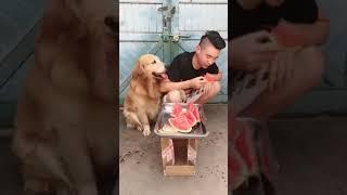 金毛艾迪日常小生活合集一抢西瓜。。。